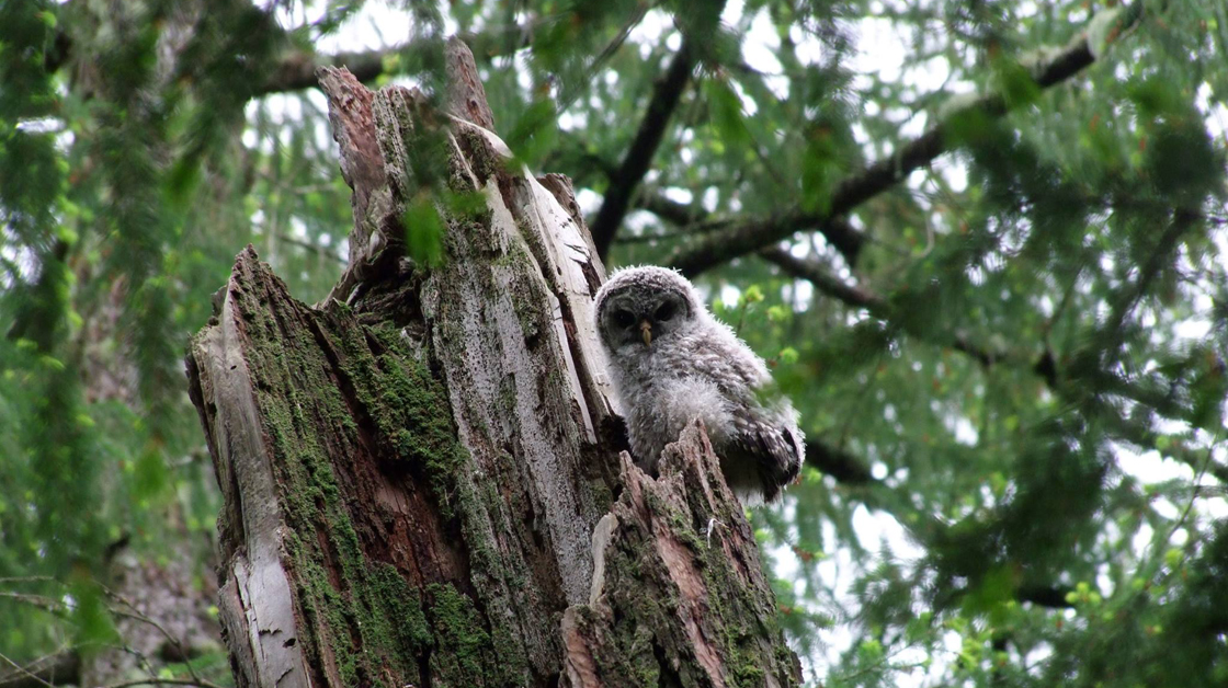 Wildwood ecoforest owl