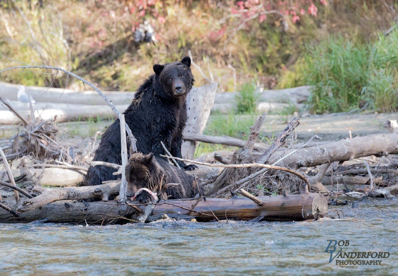 Bear in Bella Coola