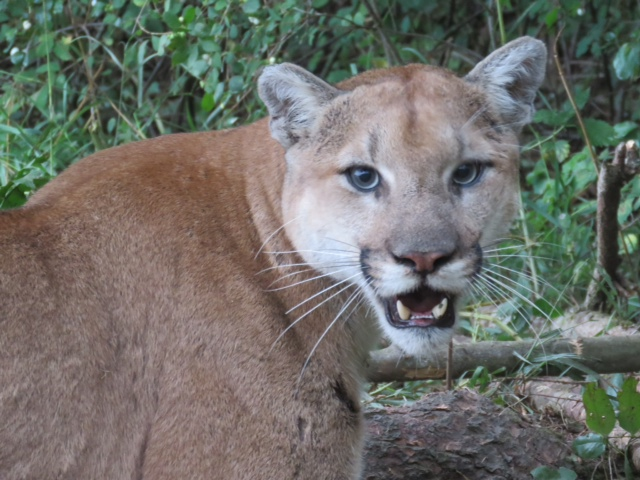 Cougars in bc