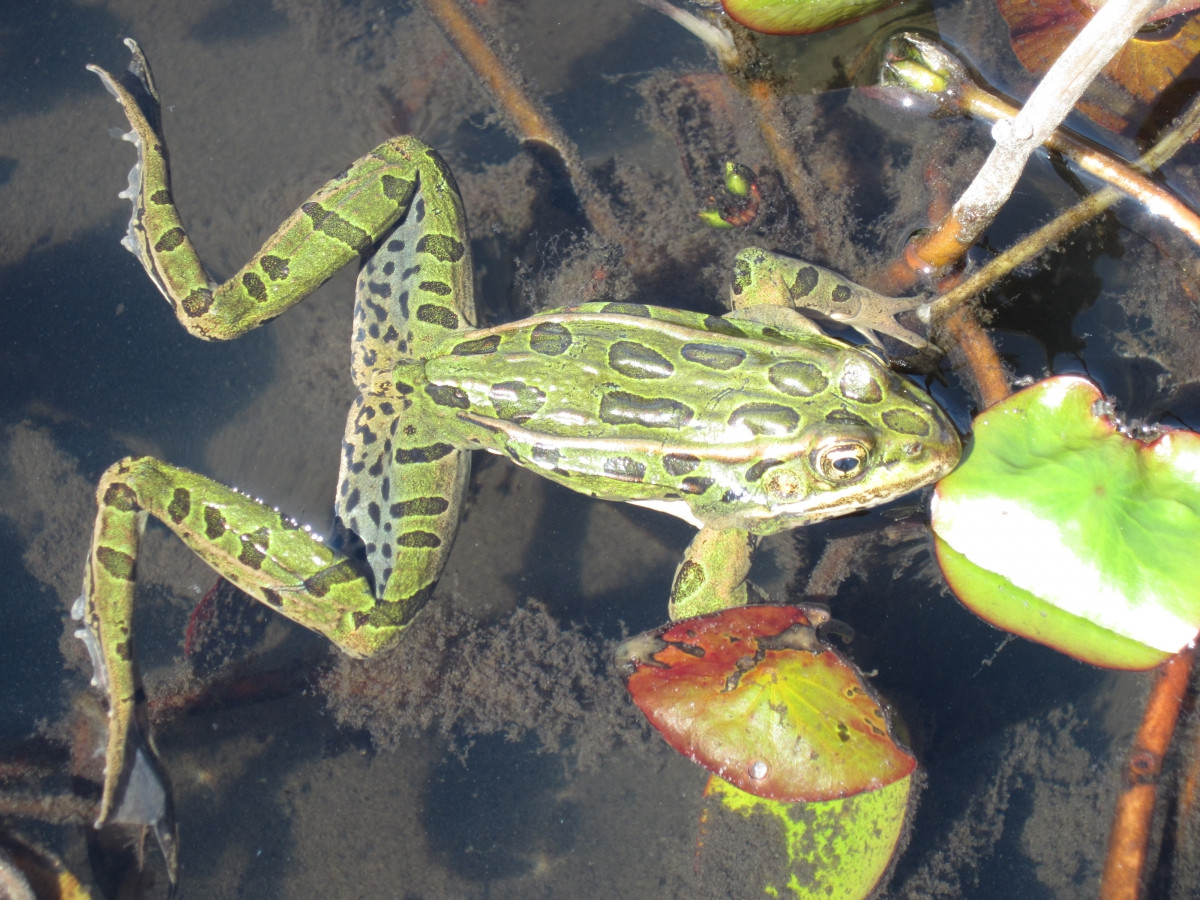 Northern Leopard Frog, photo by Lea Randall