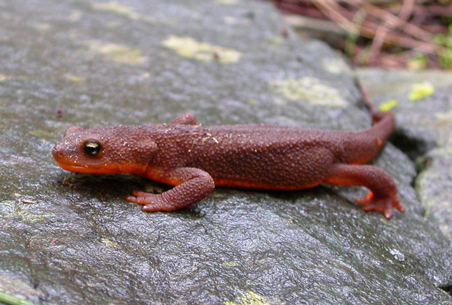 Rough-skin Newt adult - Elke Wind