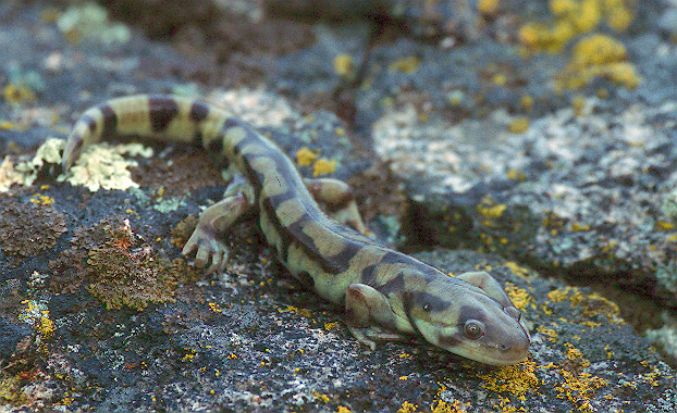 Tiger Salamander adult - Jared Hobbs