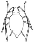Drawing of an aphid