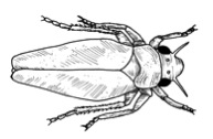 Drawing of a leafhopper