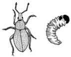 Drawing of a weevil