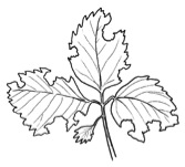 Drawing of a strawberry plant leaf