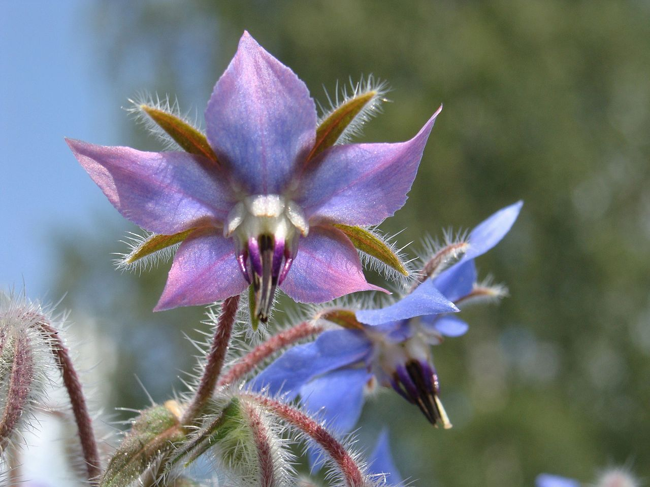 Borage, Star Flower