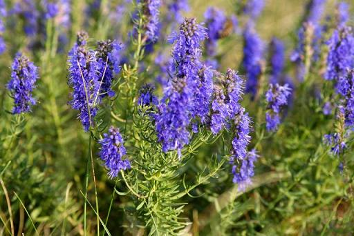 Selecting bee forage plants province of british columbia small scented pink to bluepurple flowers appear in mid summer to fall which are highly attractive to bees mightylinksfo