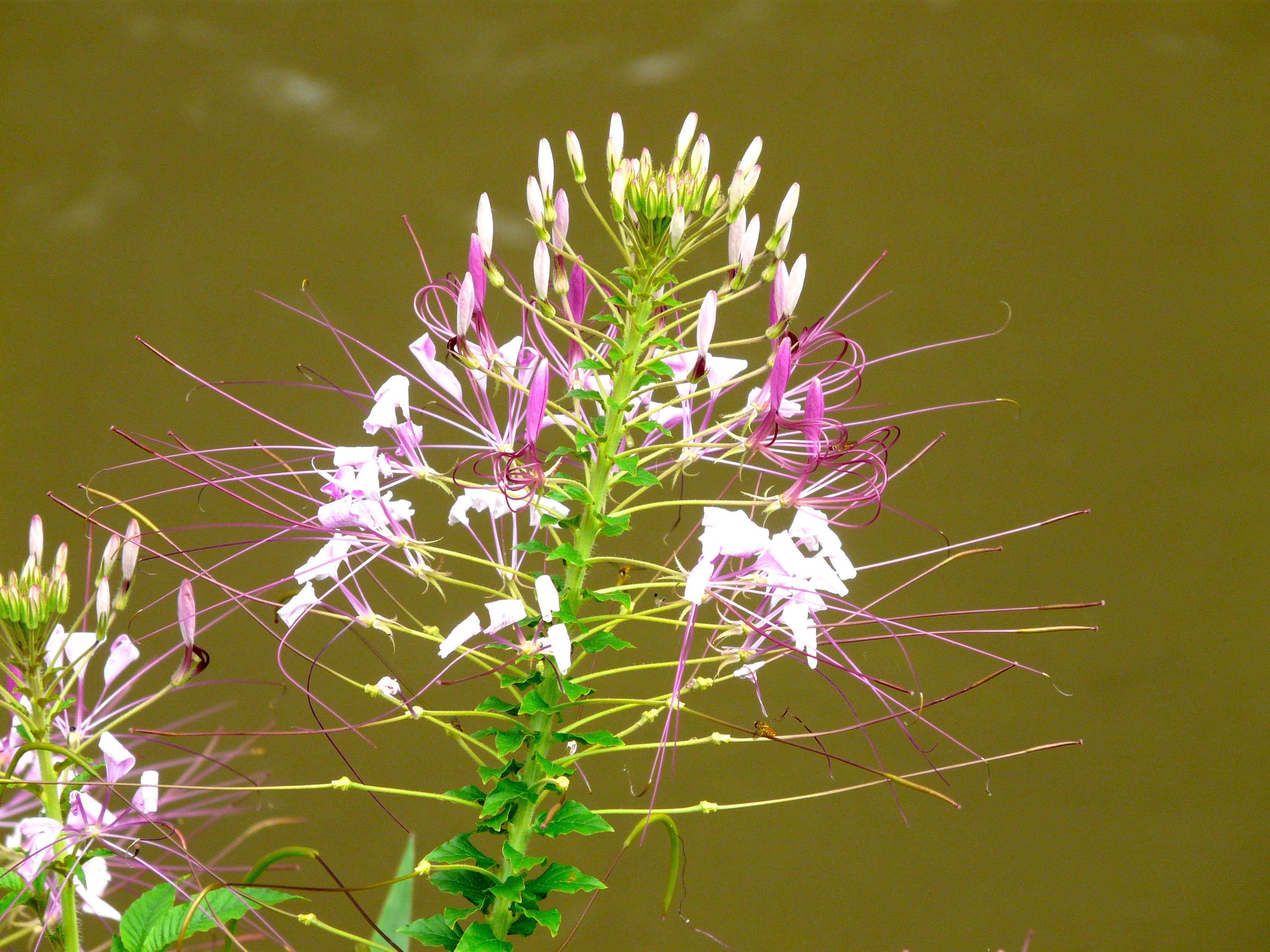 Spider Flower, Rocky Mountain Bee Plant