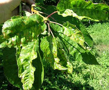 Powdery mildew on sweet cherry leaves