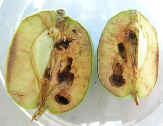 codling moth damage