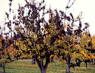 fire blight of apple and pear province of british columbia