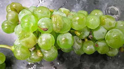 sour rot of grape