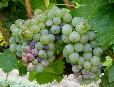Sour rot in 'Optima' grapes