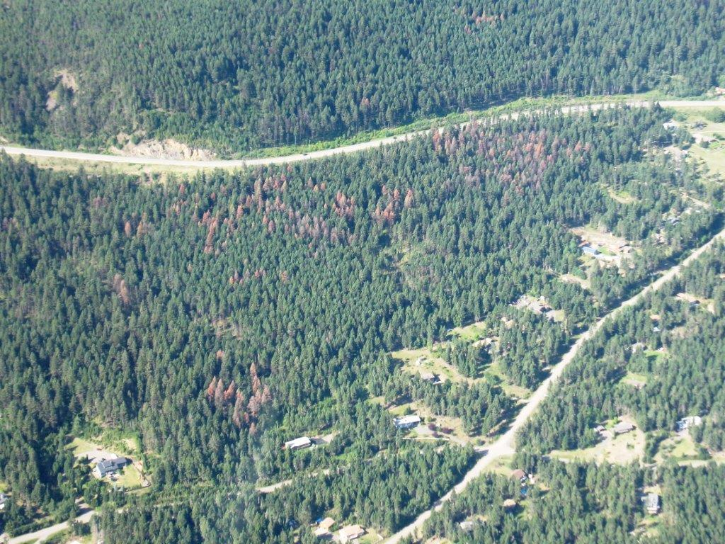 douglas-fir beetle damage near Williams Lake