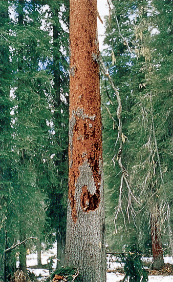 Woodpecker bark-scaling of an attacked tree.