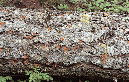 Frass (fine sawdust) on a tree trunk