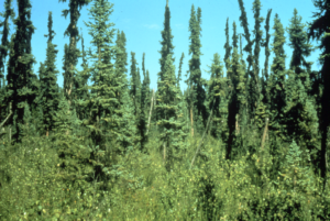 Typical Black spruce