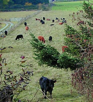 Cattle foraging